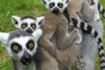 "CNN: Lemurs found to be ""most threatened mammals"" in the world"