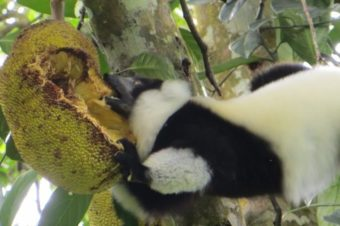 Eating like a Ruffed lemur