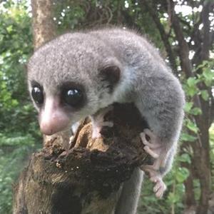 Newly Identified Lemur Species